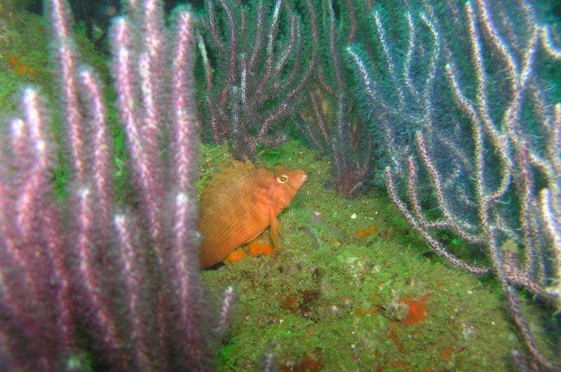 Onderwater_P9180056 Koraalklimmer_b