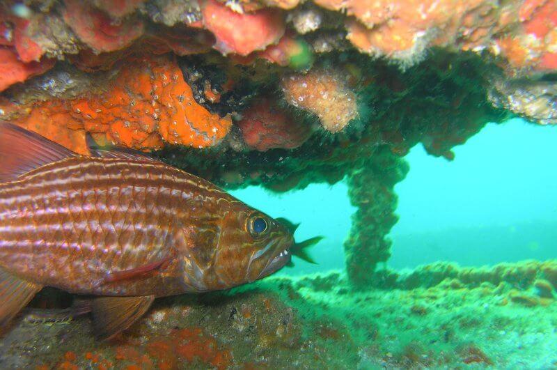 Onderwater_P9190304 Eekhoornvis op wrak_b