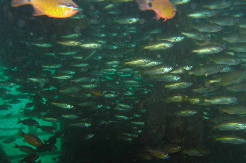 Onderwater_P9210473 School vissen in wrak_b
