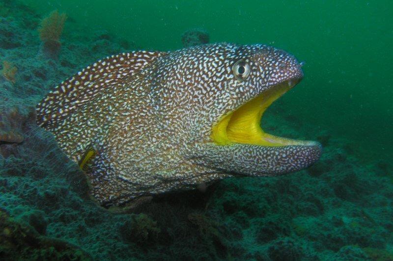 Onderwater_P9220683 Geelbekmurene_b